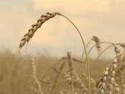 Сбор украинских аграриев составил более 55 миллионов тонн зерна