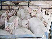 Украина импортировала в этом году в два раза меньше свинины.