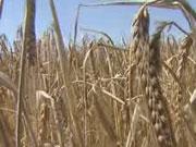 Продолжается рост цен на украинскую пшеницу