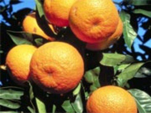 Украинцы отказываются от мандарин и апельсин — не по карману