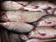 За период новогодних праздников импортная рыба в Украине подорожала на 30-40%