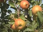 Украинские яблоки сравняются в цене с апельсинами