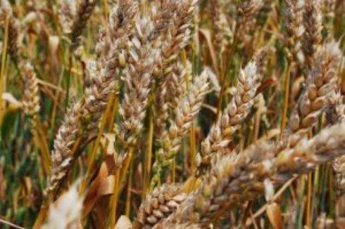 Конкуренция Украины и России на рынке пшеницы усилится