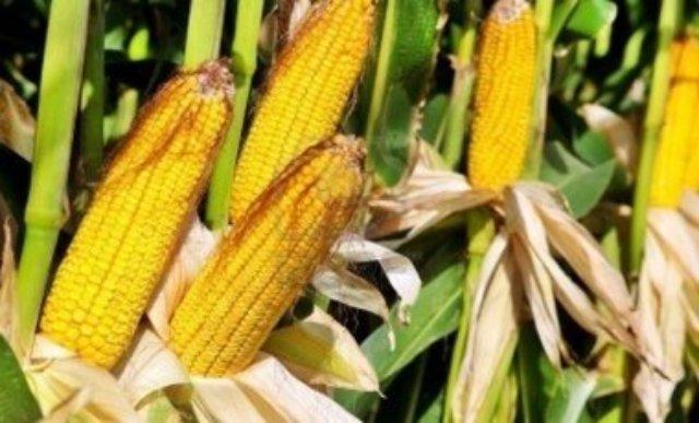 В Украине наступило время «кукурузной дипломатии», — Financial Times