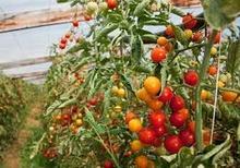 В Україні раптово здорожчали помідори