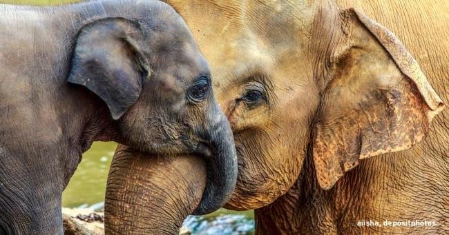 """Ученые – у слонов есть свои """"дедушки"""" и """"бабушки"""""""