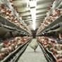 Украина нарастила поставки курятины в ЕС