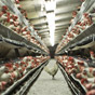 Спрос на украинскую курятину в мире растет